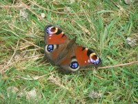 Picture of a Peacock Butterfly