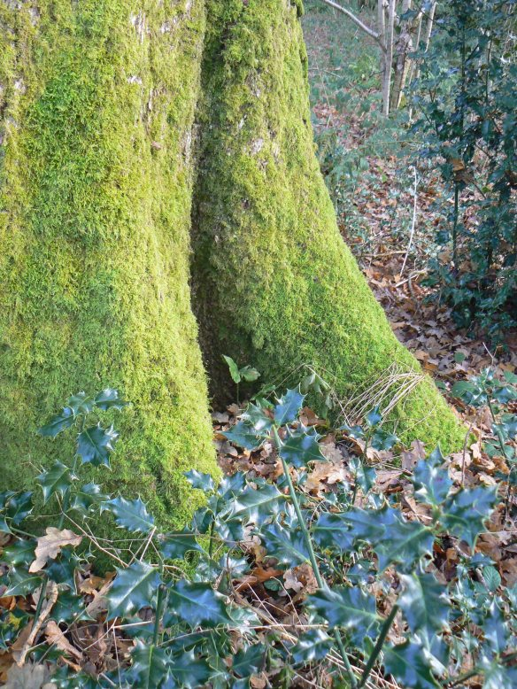 Holly and winter tree-cloaks of moss