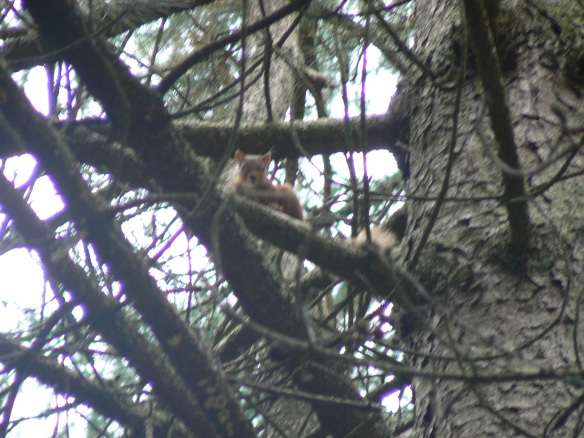 Red squirrel, Thrunton Wood, Northumberland, 2006