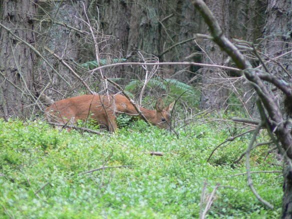 Roe doe - out from the undergrowth... Thrunton Wood, Northumberland, 2006