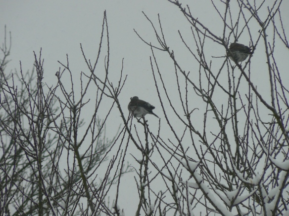Fieldfares in trees 2013