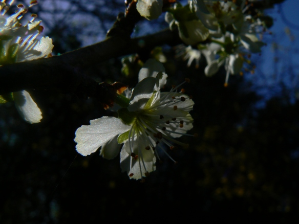April Damson blossom