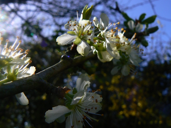 Damson blossom and blue sky