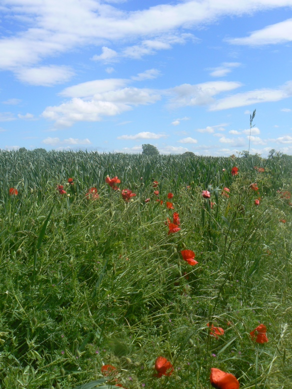 Poppies (in a field in the Goucestershire Cotswolds)